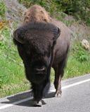 Bisonte americano che cammina sulla via in primo piano Immagini Stock Libere da Diritti