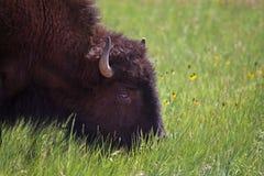 Bisonte americano che pasce fotografie stock