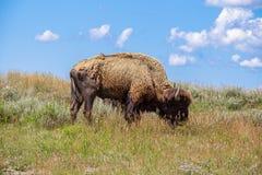 Bisonte americano che pasce immagini stock