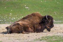 Bisonte americano conosciuto come il bisonte, bisonte del Bos nello zoo fotografie stock libere da diritti