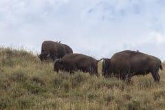 Bisonte americano do bisonte dos búfalos no prado prudente da grama imagem de stock