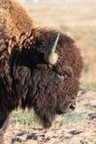 Bisonte americano en los altos llanos de Colorado Imagen de archivo