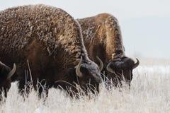 Bisonte americano en los altos llanos de Colorado Imagenes de archivo