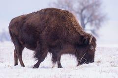 Bisonte americano en los altos llanos de Colorado foto de archivo libre de regalías
