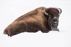 Bisonte americano en nieve Fotografía de archivo