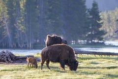 Bisonte americano genético puro - parque nacional de Yellowstone Imagen de archivo