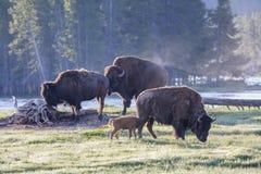 Bisonte americano geneticamente puro - parco nazionale di Yellowstone Immagini Stock