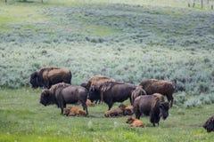Bisonte americano geneticamente puro - parco nazionale di Yellowstone Fotografie Stock Libere da Diritti