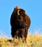 Bisonte americano maciço que está no relógio. Fotografia de Stock