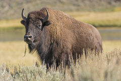 Bisonte americano nas planícies Imagens de Stock