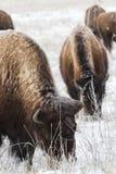 Bisonte americano nas planícies altas de Colorado Imagem de Stock