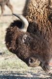 Bisonte americano nas planícies altas de Colorado Fotografia de Stock