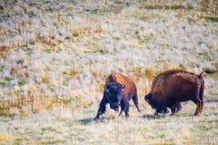 Bisonte americano nel campo del parco di stato dell'isola dell'antilope, Utah fotografia stock libera da diritti