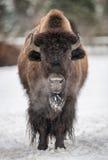 Bisonte americano nell'inverno fotografia stock