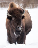 Bisonte americano in neve III Immagini Stock