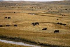 Bisonte americano no parque nacional de Yellowstone imagens de stock
