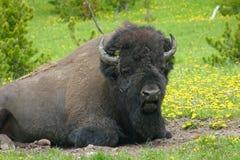 Bisonte americano nos Wildflowers Foto de Stock