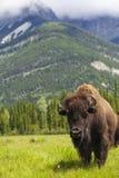 Bisonte americano o Buffalo Fotografia Stock Libera da Diritti