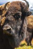Bisonte americano ou búfalo fotografia de stock