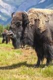 Bisonte americano ou búfalo imagens de stock