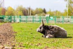Bisonte americano ou búfalo no campo fotografia de stock