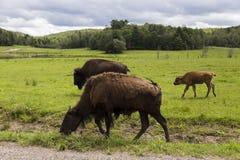 Bisonte americano que anda na grama ao longo de uma estrada imagens de stock royalty free