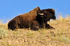 Bisonte americano que mostra sua corcunda. Imagem de Stock Royalty Free