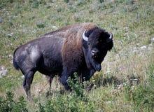 Bisonte americano salvaje foto de archivo libre de regalías