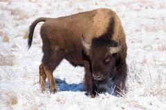 Bisonte americano sulle alte pianure di Colorado Fotografia Stock Libera da Diritti