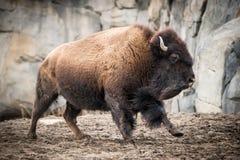 Bisonte americano V Immagine Stock
