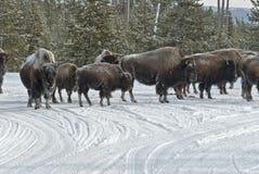 Bisonte & Snowmobiles, inverno, Yellowstone NP Fotos de Stock