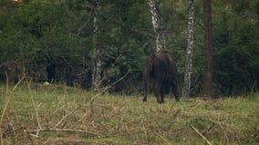 Bisonte - aurochs que pasta en un prado almacen de metraje de vídeo