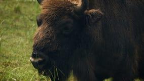 Bisonte - aurochs que pasta en un prado almacen de video