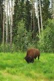 Bisonte (búfalo) Imagem de Stock