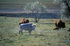 Bisonte branco, nuvens brancas, búfalo sagrado, museu nacional do búfalo, Jamestown, SD Foto de Stock