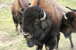 Bisonte Bull Fotografia Stock Libera da Diritti
