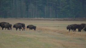 Bisonte che cammina nel campo stock footage