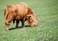 Bisonte che mangia erba Fotografia Stock