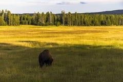Bisonte che mangia erba, Yellowstone Immagine Stock Libera da Diritti