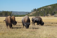 Bisonte che pasce in Yellowstone NP Fotografia Stock