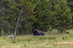 Bisonte che si trova nell'erba, Yellowstone Immagine Stock