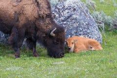 Bisonte con el becerro en primavera Fotografía de archivo libre de regalías
