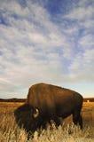 Bisonte con el fondo grande del cielo Foto de archivo libre de regalías