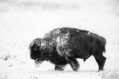 Bisonte con neve Immagine Stock Libera da Diritti