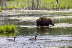 Bisonte dal lago Immagine Stock