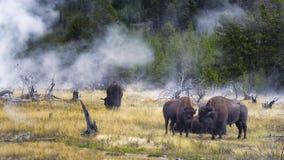 Bisonte de alimentação na bacia do geyser de Yellowstone Foto de Stock Royalty Free