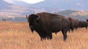Bisonte de Bull almacen de video