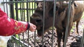 Bisonte de Bull que alimenta en el parque zoológico almacen de metraje de vídeo