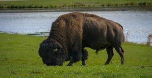 Bisonte de Bull que come en el verano Imágenes de archivo libres de regalías
