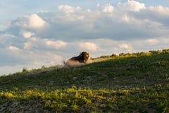 Bisonte de Bull revolcandose en la ladera el los veranos que igualan la luz Foto de archivo libre de regalías